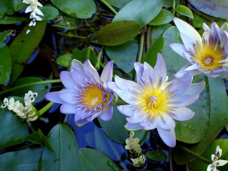 Blue-Lotus-3