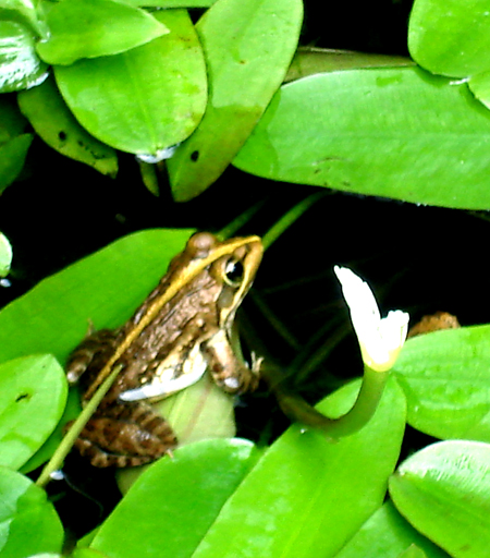 Waterblommetjie and friend