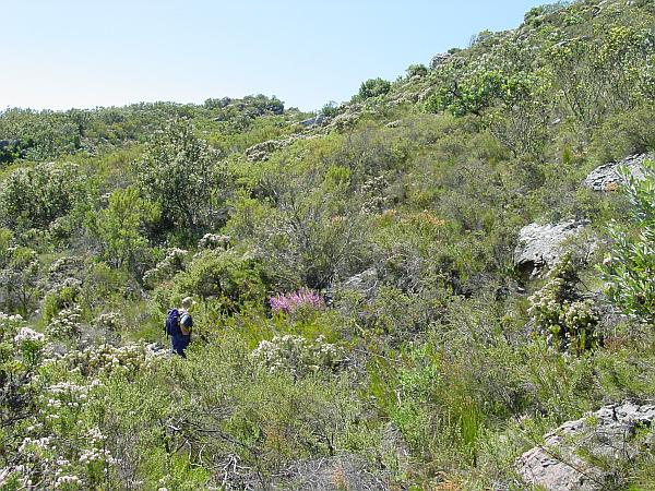 A buchu slope, with a buchu bush (agathosma betulina) flowering purple in the middle