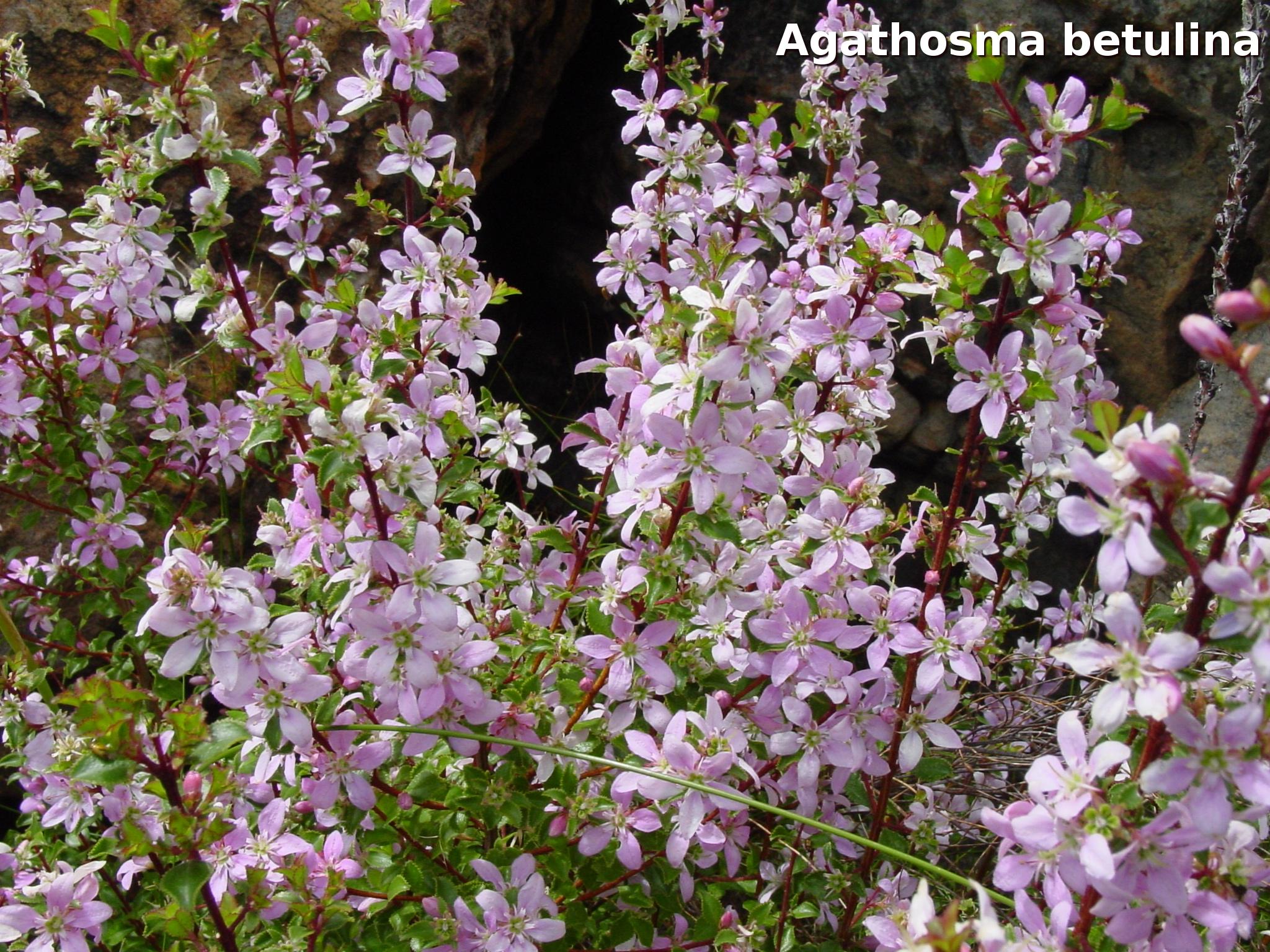 plants_agathosma_betulina1