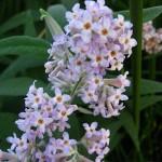 Buddleja salviifolia and Buddleja auriculata