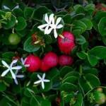 Carissa macrocarpa – Groot Noem-Noem