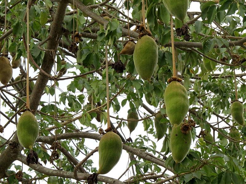 Adansonia_grandidieri_fruit