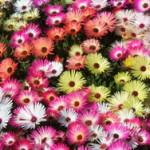 Scented Curiosities – mesembryanthemaceae
