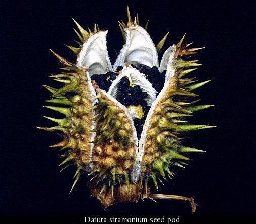 datura-Seed-4