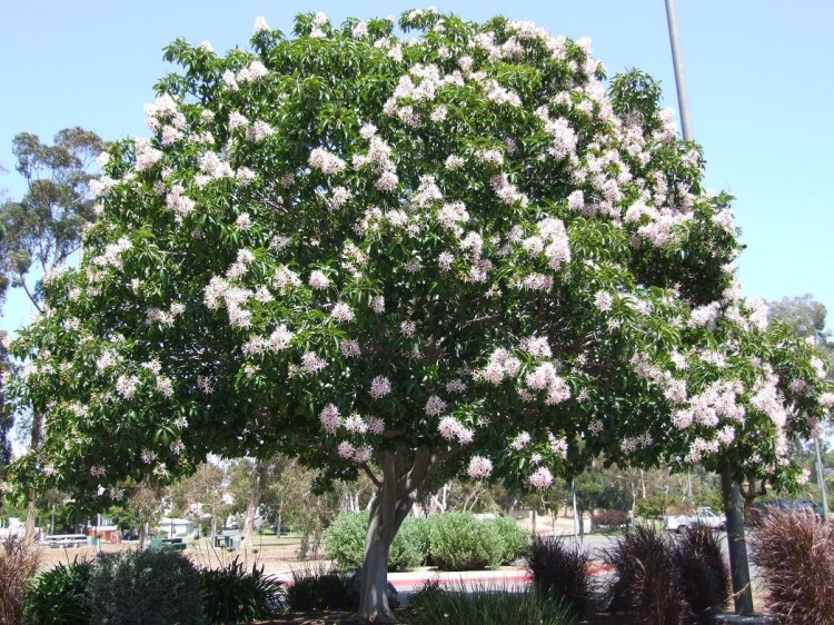Cape Chestnut Calodendrum capense
