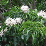 A Beautiful Tree – Calodendrum capense