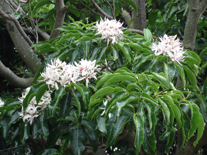 Cape Chestnut Tree