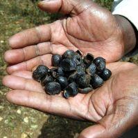 Cape Chestnut seeds