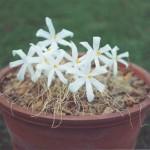 Christmas Stars – Kukumakrankas/Gethylis/Cape crocus