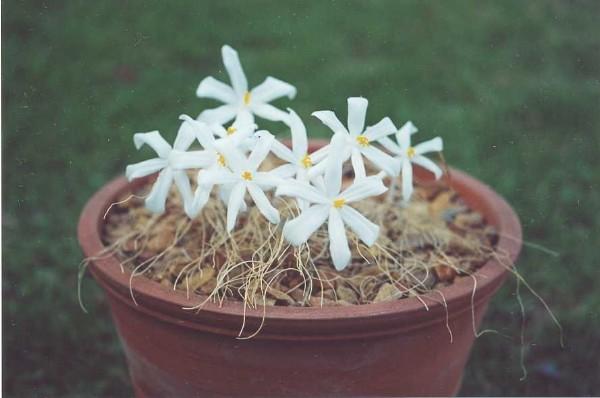 Gethyllis verticillata - Dennis Tsang