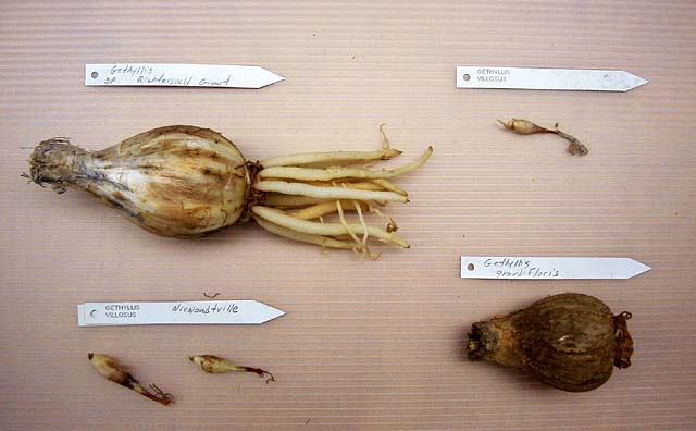 gethyllis4s_bulbs