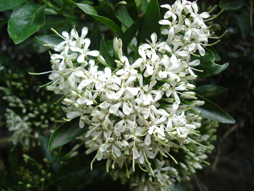 The Forest Bride or Bride's Bush is not surprisingly said to be used in traditional, African wedding ceremonies.