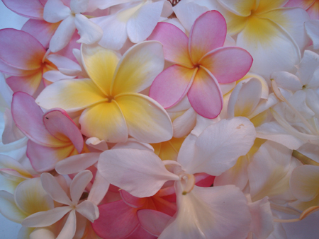 Frangipani, Jasmine grandiflora, Noem Noem, Gingerlily - Wish you could smell?