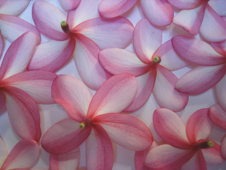 This Pink Frangipani's Scent is like a sweet candy rose.