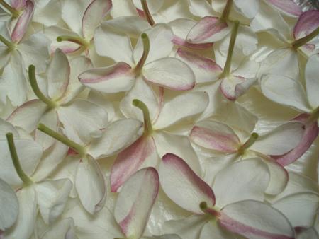 Jasmine grandiflora enfleurage