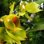 Orchid Bees use Enfleurage
