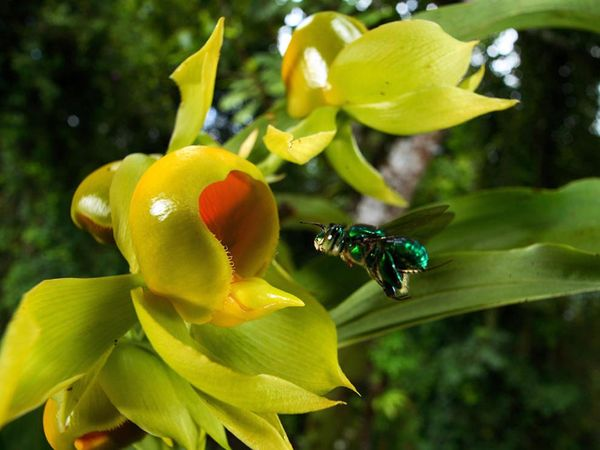 An orchid bee with an arrow pointing to where it stores the fragrances, photo from Ramirez 2009, Current Biology